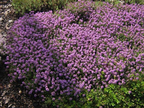 Thymus-x citriodorus Lammefjord