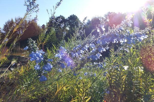 Salvia azurea var grandiflora