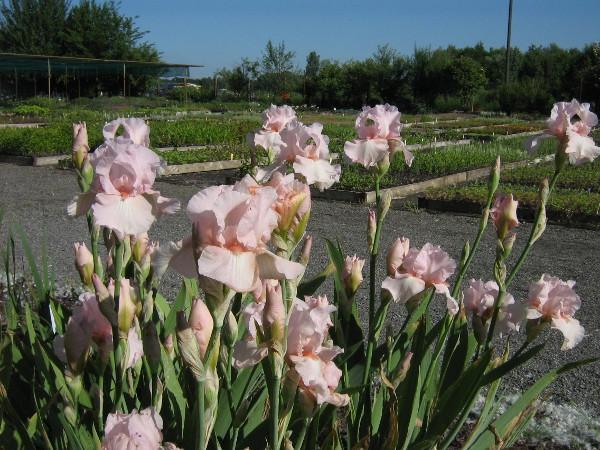 Iris barbata-elatior Vanity