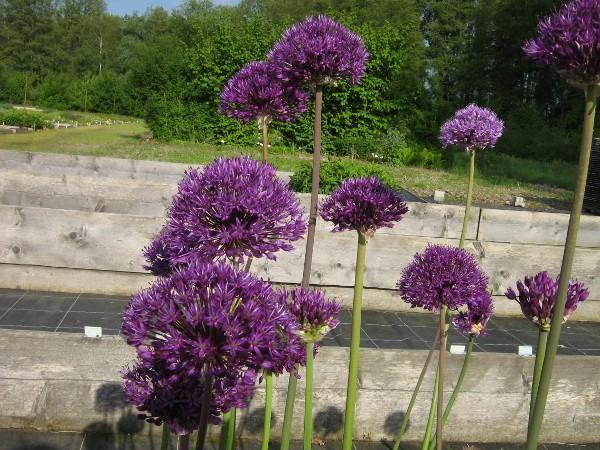 Allium aflatunense Purple Sensation