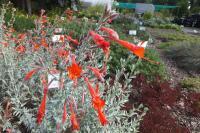 Zauschneria californica subsp Olbrichs Silver