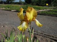 Iris barbata-elatior Topas