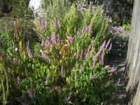 Elsholia stauntonii