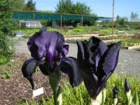 Iris barbata-elatior Superstition